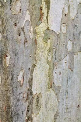 Eucalyptus Dalrymeana Art Print