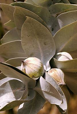 Gumtree Photograph - Eucalyptus Macrocarpa Flower Buds by Adrian Thomas