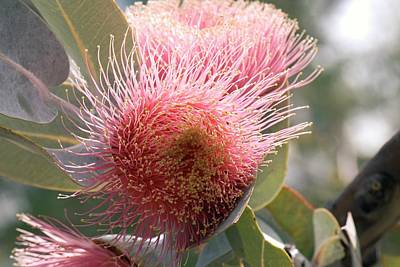 Gumtree Photograph - Eucalyptus Macrocarpa Pyriformis Flower by Adrian Thomas