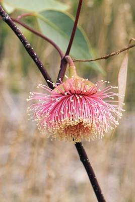 Gumtree Photograph - Eucalyptus Rameliana Flower by Adrian Thomas