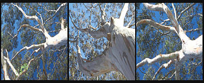 Photograph - Eucalyptus Tree Panel Triptych 2 by SC Heffner