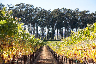 Eucalyptus Trees And Vineyards Original by Kathy Sidjakov