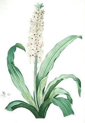Pineapple Drawing - Eucomis Punctata, Eucomis Comosa Eucomis Ponctuée by Artokoloro