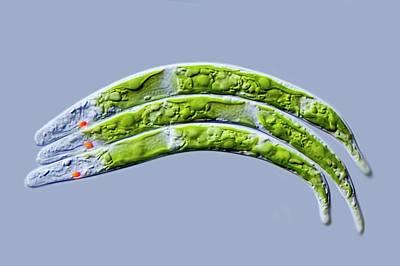 Euglena Mutabilis Protist Art Print