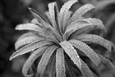 Photograph - Euphorbia Bw by Gerry Bates