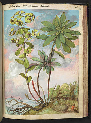 Spurge Photograph - Euphorbia Characias by British Library
