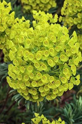 Spurge Photograph - Euphorbia Characias Subsp. Wulfenii by Geoff Kidd
