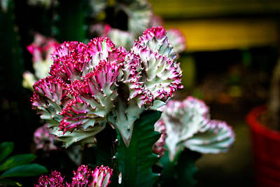 Photograph - Euphorbia Lactea Singapore Flower by Donald Chen