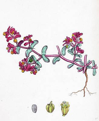 Botanica Drawing - Euphorbia Peplis Purple Spurge by English School