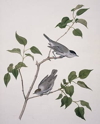 Blackcap Photograph - Eurasian Blackcaps, 19th Century Artwork by Science Photo Library