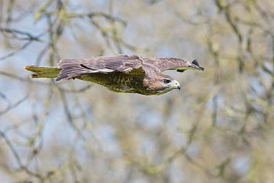 Buzzard Wall Art - Photograph - Eurasian Buzzard In Flight by Linda Wright