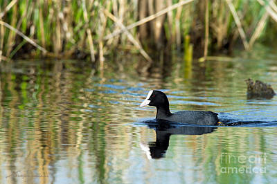 Coot Wall Art - Photograph - Eurasian Coot by Torbjorn Swenelius
