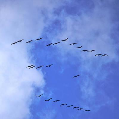 Eurasian Cranes Coming Print by Jouko Lehto