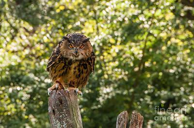 Photograph - Eurasian Eagle Owl by Anthony Sacco