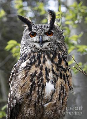 Raptor Photograph - Eurasian Eagle Owl by Barbara McMahon