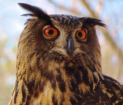 Print featuring the photograph Eurasian Eagle Owl by Cynthia Guinn