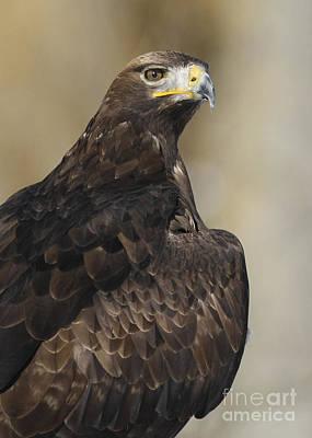 Eurasian Golden Eagle Preparing For Flight Art Print by Inspired Nature Photography Fine Art Photography