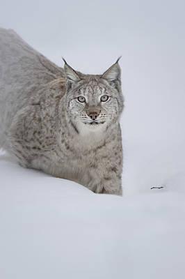Eurasian Lynx Art Print by Andy Astbury