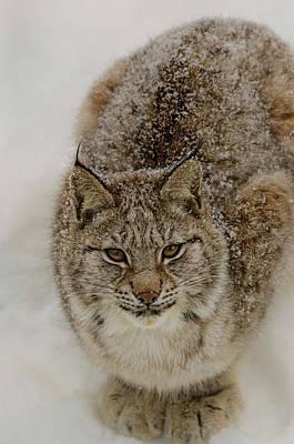 Eurasian Lynx Art Print by Kenneth Gjesdal