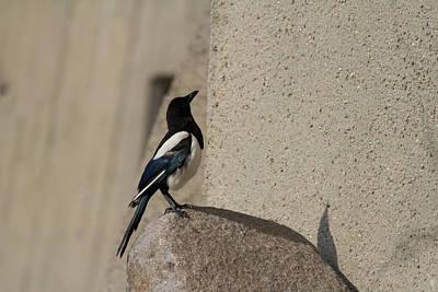 Magpies Digital Art - Eurasian Magpie by Eti Reid