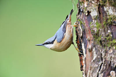 Nuthatch Photograph - Eurasian Nuthatch by Dr P. Marazzi