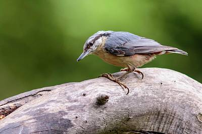 Eurasian Nuthatch Art Print by Heath Mcdonald