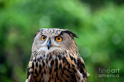 Photograph - Eurasian Or European Eagle Owl Bubo Bubo Stares Intently by Imran Ahmed