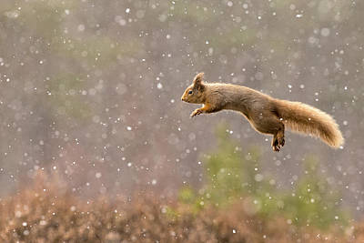 Squirrel Photograph - Eurasian Red Squirrel In Falling Snow by Jules Cox