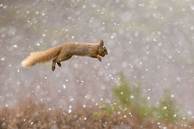 Squirrel Photograph - Eurasian Red Squirrel Leaping With Nut by Jules Cox