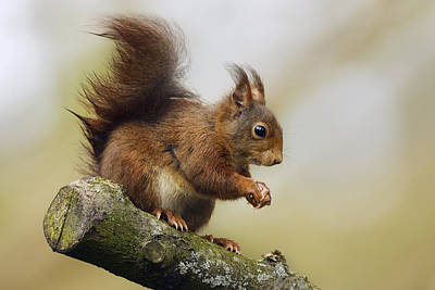 Red Squirrel Photograph - Eurasian Red Squirrel Netherlands by Marianne Brouwer