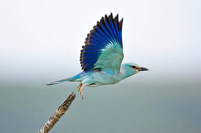 Bird Flight Photograph - Eurasian Roller by Johan Swanepoel