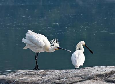 Courtship Photograph - Eurasian Spoonbill Courtship Display by K Jayaram