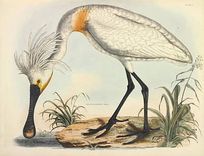 Selby Photograph - Eurasian Spoonbill by Natural History Museum, London