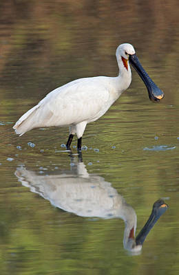 Spoonbill Wall Art - Photograph - Eurasian Spoonbill Platalea Leucorodia by Panoramic Images