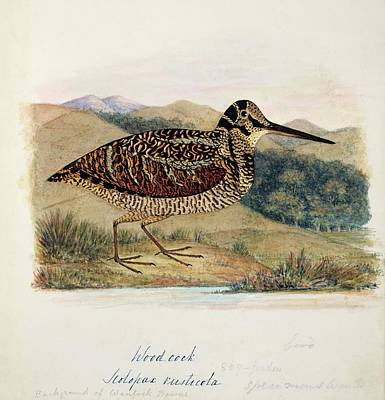 Woodcock Wall Art - Photograph - Eurasian Woodcock by Natural History Museum, London/science Photo Library