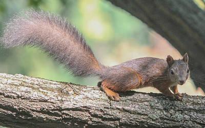 Art Print featuring the photograph Euroasian Red Squirrel - Sciurus Vulgaris by Jivko Nakev