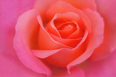 Europe, Ireland Detail Of Pink Rose Art Print