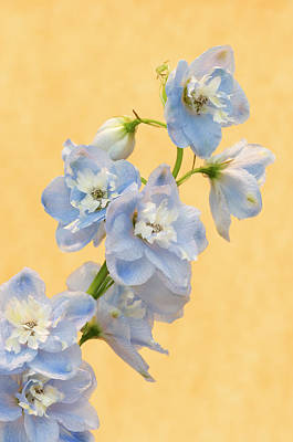 Blue Delphinium Photograph - Europe, Netherlands, Venlo by Jaynes Gallery