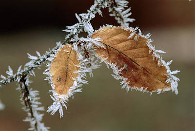 European Beech Photograph - European Beech Leaves With Frost by Thomas Marent