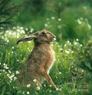 Photograph - European Brown Hare by Hans Reinhard