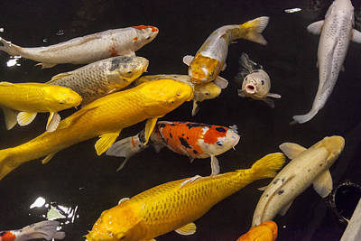 Goldfish Photograph - European Carp  by Colin Monteath