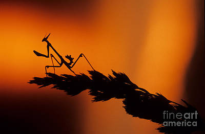 Photograph - European Devil Mantis by Francesco Tomasinelli