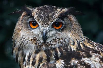 Photograph - European Eagle Owl  by Nick  Biemans