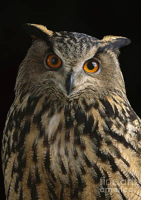 Photograph - European Eagle Owl by Stephen Dalton