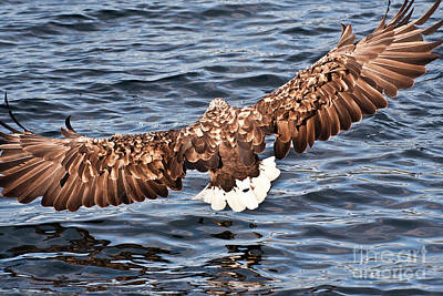 Ailing Photograph - European Fishing Sea Eagle 1 by Heiko Koehrer-Wagner