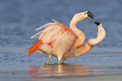 Flamingos Photograph - European Flamingo Pair Courting by Ronald Kamphius