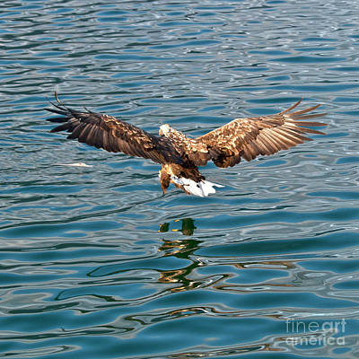 Ailing Photograph - European Flying Sea Eagle 6 by Heiko Koehrer-Wagner