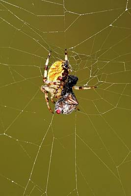Food Web Photograph - European Garden Spider And Prey by Heiti Paves