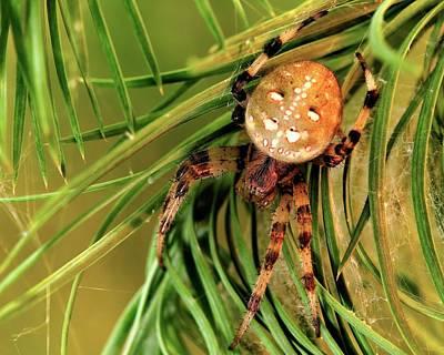 Orb Weaver Spider Photograph - European Garden Spider by Heiti Paves