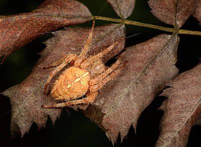 Orb Weaver Spider Photograph - European Garden Spider by Nigel Downer